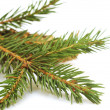 Brown pine cone and a green branch. — Stock Photo