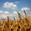 Ripe spikelet of wheat 2. — Stock Photo