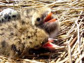 Nestlings — Stock Photo