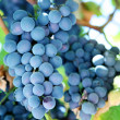 Bunch of blue grapes in a vineyard - Stok fotoğraf