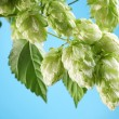 Branch of hops on a blue background — Stock Photo