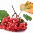 Cluster of rowan berries on a white background. — Stock Photo #4060500