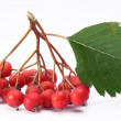 Cluster of rowan berries on a white background. — Stock Photo #4060504