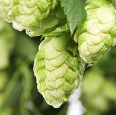 Branch of hops close up — Stock Photo
