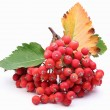 Cluster of rowan berries on a white background. — Stock Photo #4226143