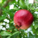Ripe pomegranate on the branch. — Stock Photo