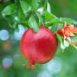 Ripe pomegranate on the branch. — Stock Photo #4297709
