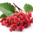 Cluster of rowan berries on a white background. — Stock Photo