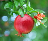 Ripe pomegranate on the branch. — Stock Photo