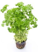 Bunch of parsley on a white background — Stock Photo