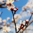 Apricot flower against the sky. - Stok fotoğraf