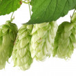 Branch of hops on a white background — Stock Photo