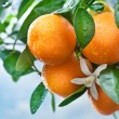Ripe tangerines on a tree branch. Blue sky on the background. — Stock Photo #5008079