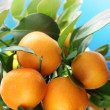 Ripe tangerines on a tree branch. Blue sky on the background. — Stock Photo #5008090