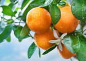 Ripe tangerines on a tree branch. Blue sky on the background. — ストック写真