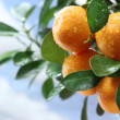 Ripe tangerines on a tree branch. Blue sky on the background. — Zdjęcie stockowe #5348622