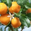 Ripe tangerines on a tree branch. Blue sky on the background. - Photo