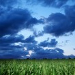 Wheat field and dark bly stormy sky. — Stock Photo