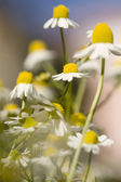 Close up white and yellow daisies — Stock Photo