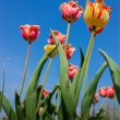 Pretty weird tulips stretch to the sky — Stock Photo #4158453