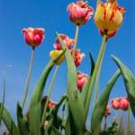 Pretty weird tulips stretch to the sky — Stock Photo