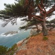 Stock Photo: Centennial cedar on rocky beach