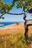 Two oaks on the yellow hillside — Stock Photo