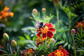 Bumble bee on a flower — Stock Photo