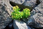 Yellow flowers in gray stones — Stock Photo