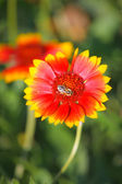 Bee on a flower 1 — Stock Photo