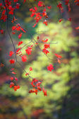 Autumn scarlet maple leaves on a branch — Stock Photo