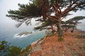 Centennial cedar on a rocky beach — Stock Photo