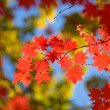Beautiful scarlet maple leaves — Stock Photo