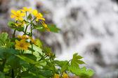Beautiful yellow flower in water — Stock Photo