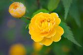 Amarillo bebé — Foto de Stock