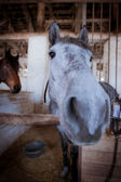 Pretty gray horse in the stable — Stock Photo