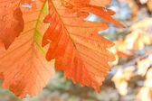 Bright oak leaves on the branches — Stock Photo