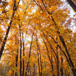 Autumn beautiful bright oak thicket - Stock Photo