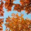 Bright colored oak leaves on the branches in the autumn forest. — Stock fotografie #4356252