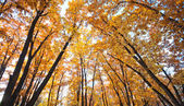 Autumn bright oak thicket — Stock Photo