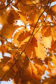Autumn oak 2 — Stock Photo