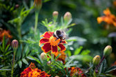 Fluffy striped bumblebee — Stock Photo