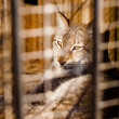 Stock Photo: Lynx imprisonment in a cage