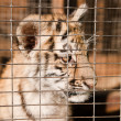 Stock Photo: Helpless tiger cubs in cage