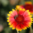 Stock Photo: Beautiful flower with striped bee