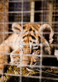 Little striped tiger cubs in a cage — Stock Photo