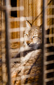 Lynx imprisonment in a cage — Stock Photo