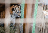 Tiger cubs in a cage — Stock Photo