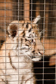 Helpless tiger cubs in a cage — Stock Photo