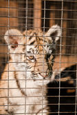 Little tiger cubs in a cage — Stock Photo